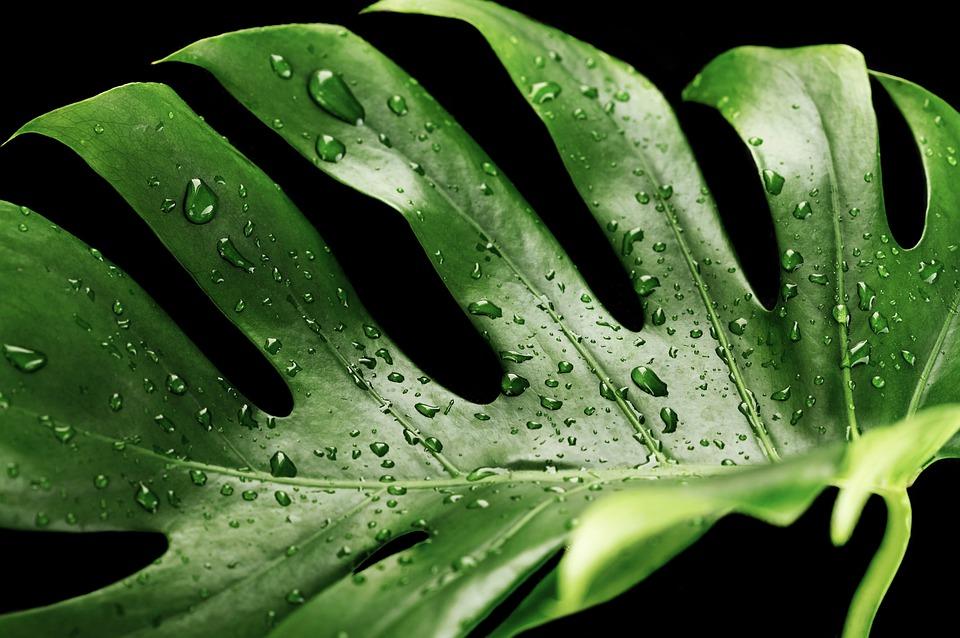 Pagdilig sa mga dahon ng indoor plants
